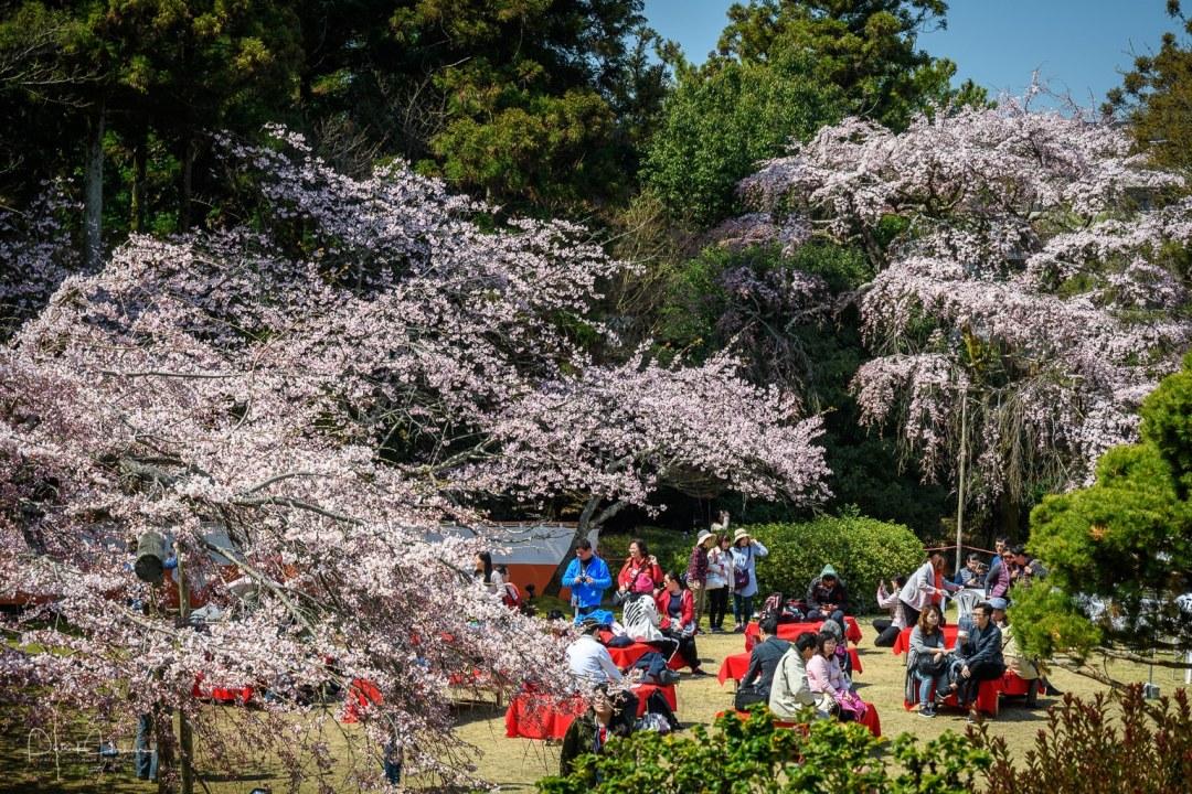 Cherry Blossoms at Daigo-Ji Temple, Kyoto