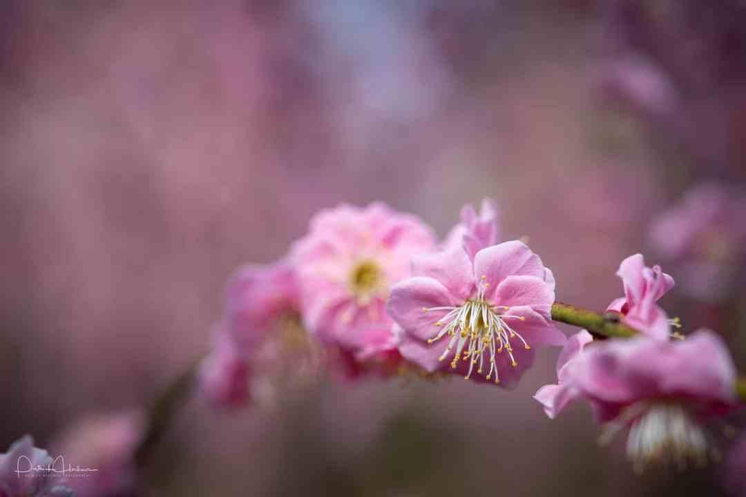 Ume blossom (plum) at Jonangu Shrine, Kyoto