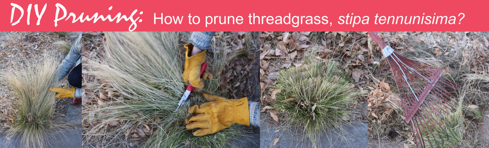 diy pruning of ornamental grasses, you can prune threadgrass with a hand pruner or a weed whacker. prune to about 3-4