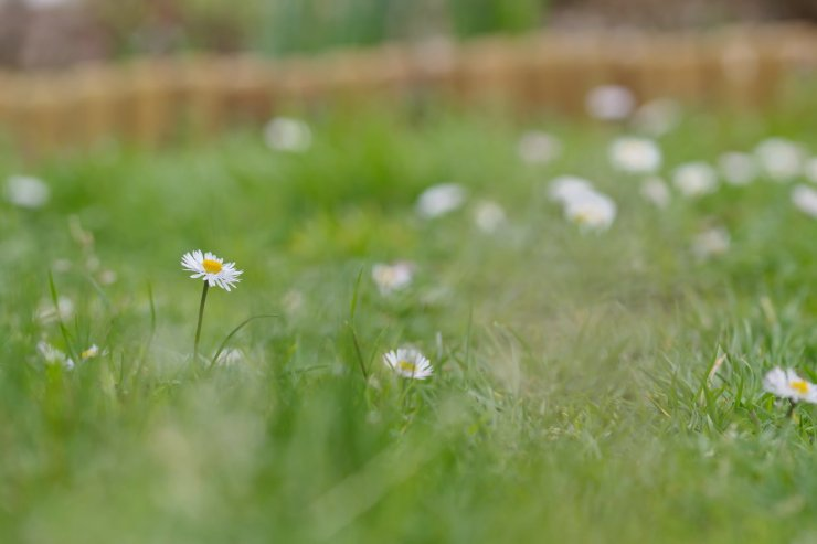 Daisy amidst her sisters on a lawn