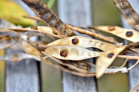 Laburnum seeds at the end of summer