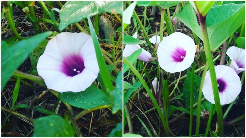 nature en guadeloupe ces si jolies touches de violet. Black Bedroom Furniture Sets. Home Design Ideas