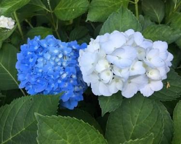 No.4353 本勝寺のアジサイを見に行く!!ニャンズ、お出迎え~(≧▽≦)  2019/7/8