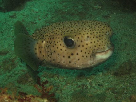 This is one friendly boxfish.