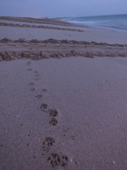 Turtle tracks and doggy tracks on the pristine Ras al Hadd beach