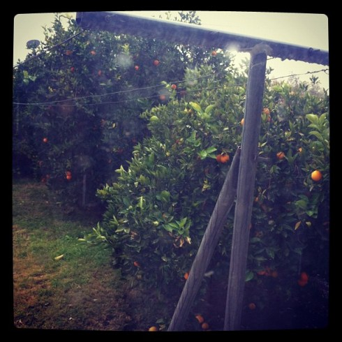 rainy day with citrus trees