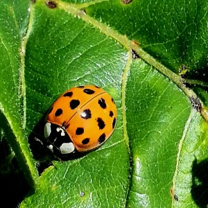 Photo by Joan Herrmann - An Asian multicolored Lady Beetle.