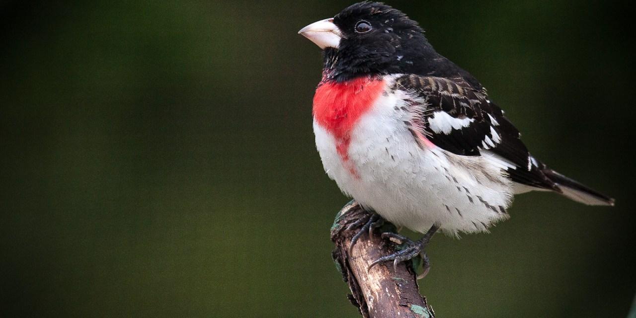 DEC Seeks Birdwatchers to Contribute to 2020 Breeding Bird Atlas