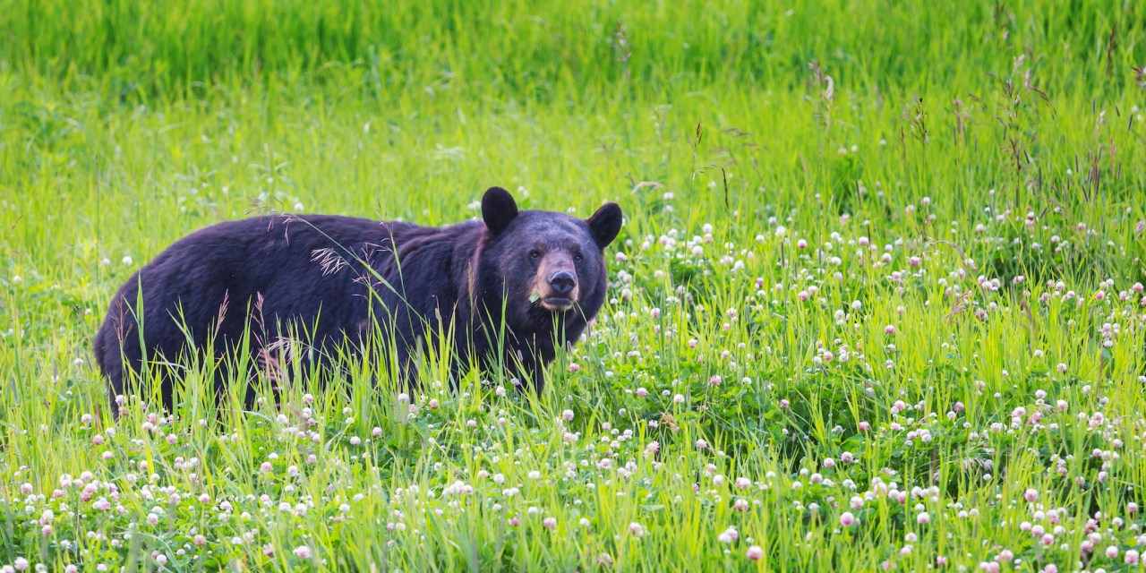 DEC Announces Opening of Early Bear Hunting Seasons