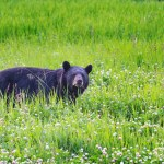 New Yorkers Encouraged to Reduce Bears' Access to Attractants Such as Food and Garbage