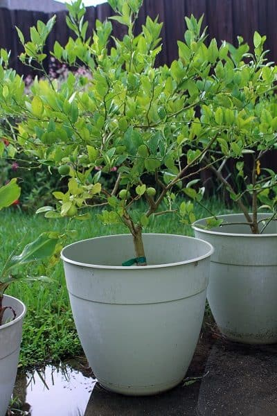 how to grow key limes in containers
