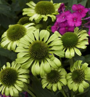 echinacea-flower