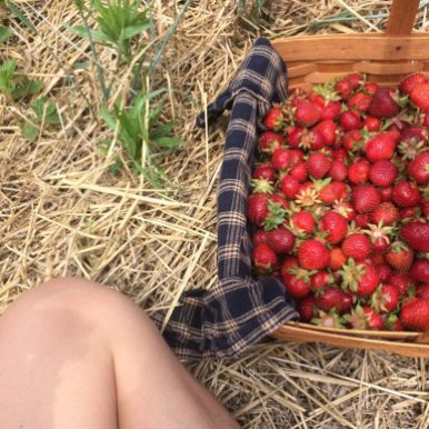 Harvesting strawberries