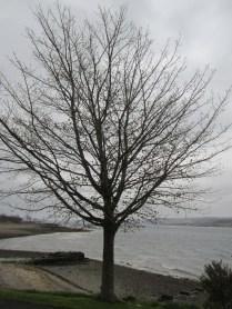 A tree, Kilcregan