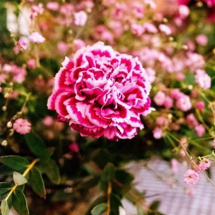 Roze anjer