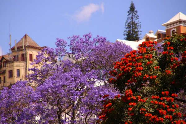 Alberi in fiore a Antananarivo, capitale del Madagascar