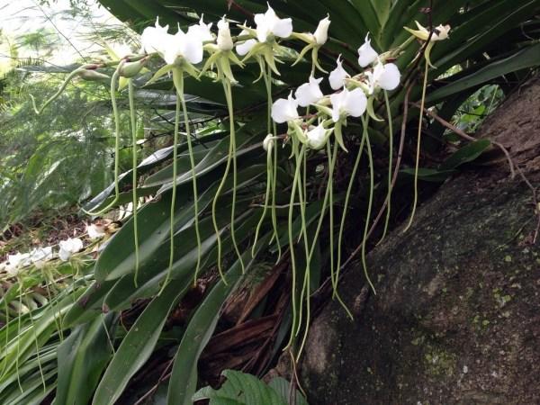 orchidee del madagascar