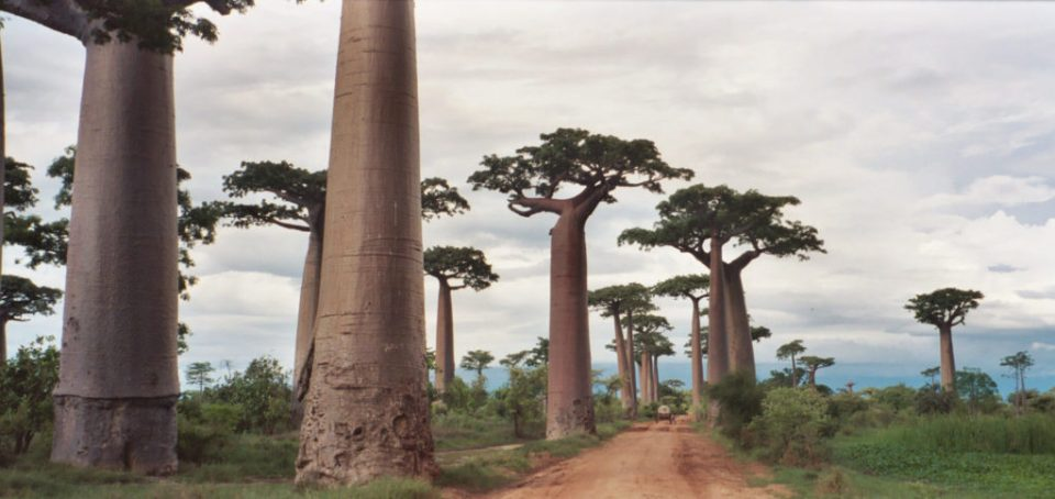 avenue_of_baobabs (1)