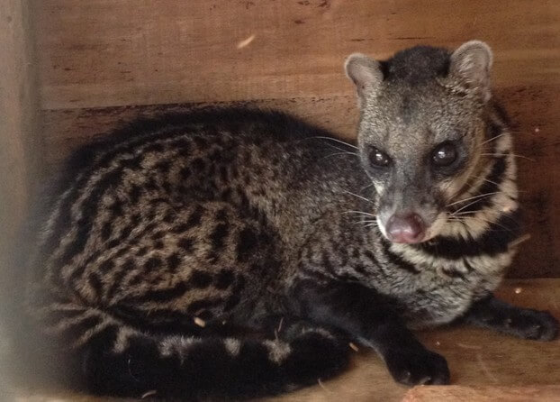 large_indian_civet