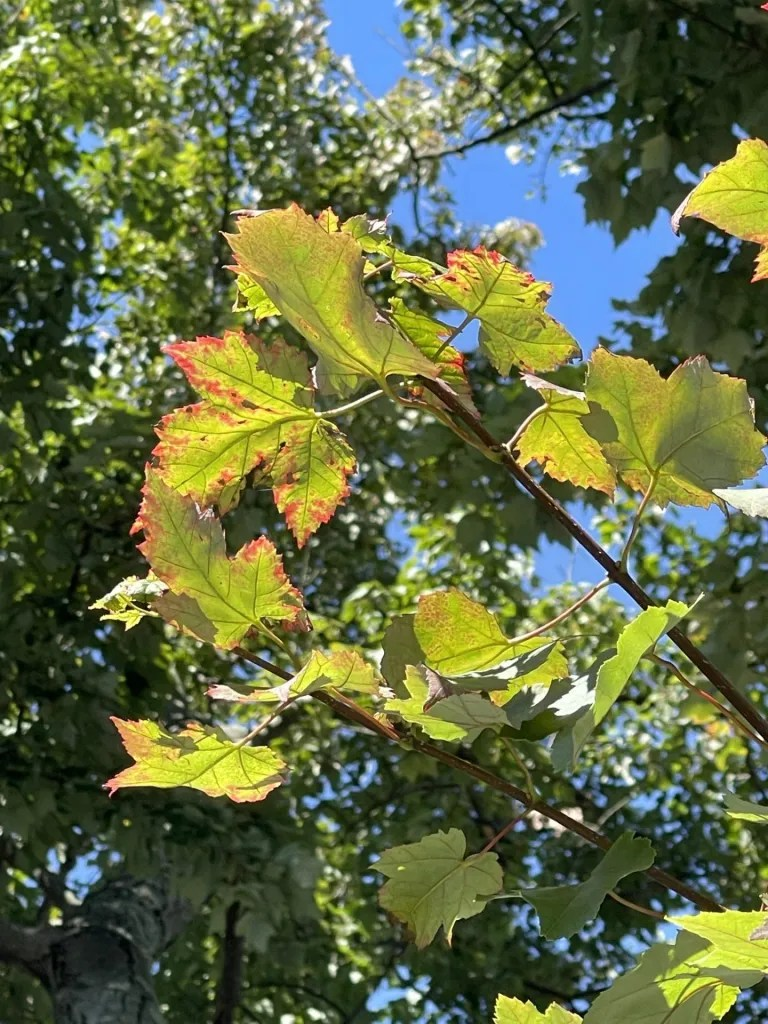Oak leaves changing colour for Fall