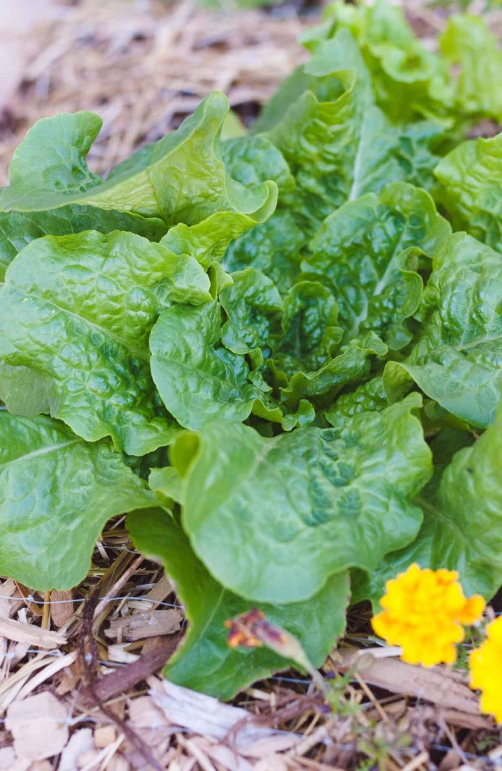 A big green head of lettuce growing in a garden bed.