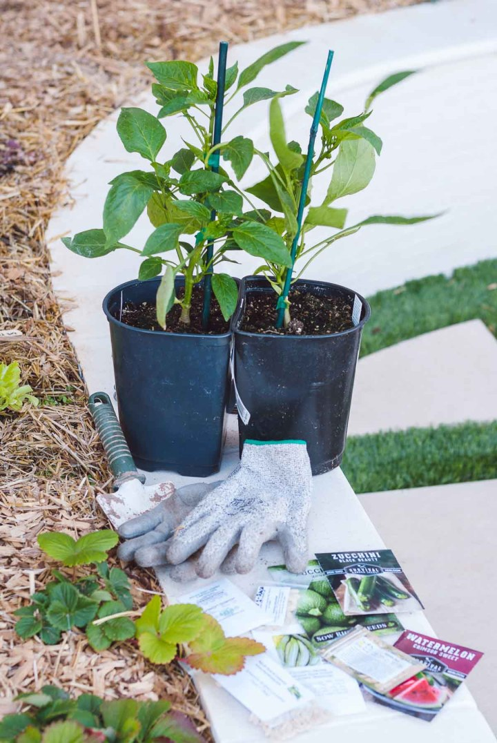 Two bell pepper plants side-by-side together on a white garden bed ledge with a pair of gray gardening gloves in front of it and seed packets laid around.