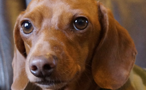 A Few Things To Know About Dachshunds  My Mini Doxie