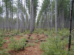 Row thinning in red pine near Mora, MN. Flickr photo by esagor. Click for original.