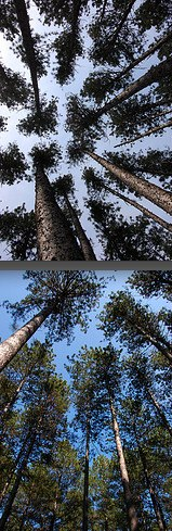 Crowns of unthinned (top) and thinned red pine, Cloquet MN. Flickr photo by esagor.