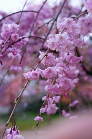 RX1R撮影写真 2015年4月初旬舞鶴公園 お花見 桜祭り