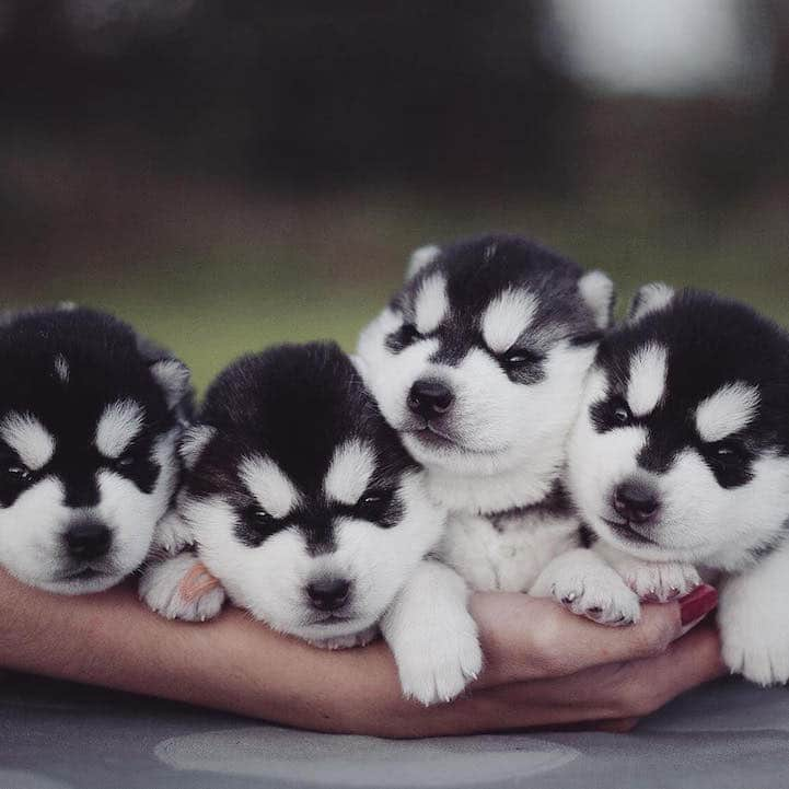Cute Husky Puppies With Blue Eyes Wallpaper Photographer S Portfolio Is Filled With Adorable Portraits