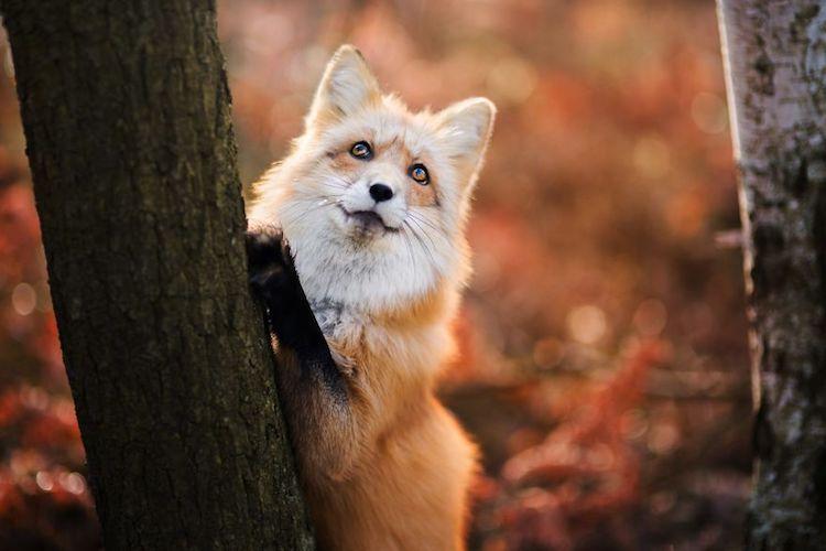 4k Fall Michigan Wallpaper Enchanting Fox Photography Of A Creature Named Freya