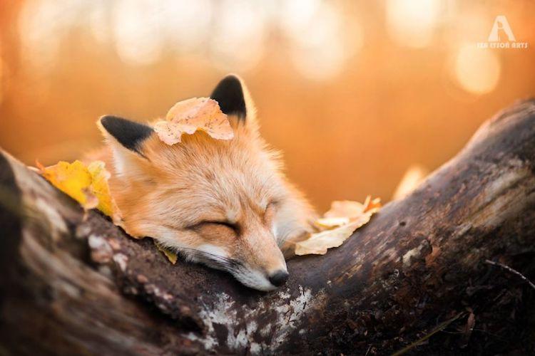 Autumn Hd Wallpaper 1080p Enchanting Fox Photography Of A Creature Named Freya