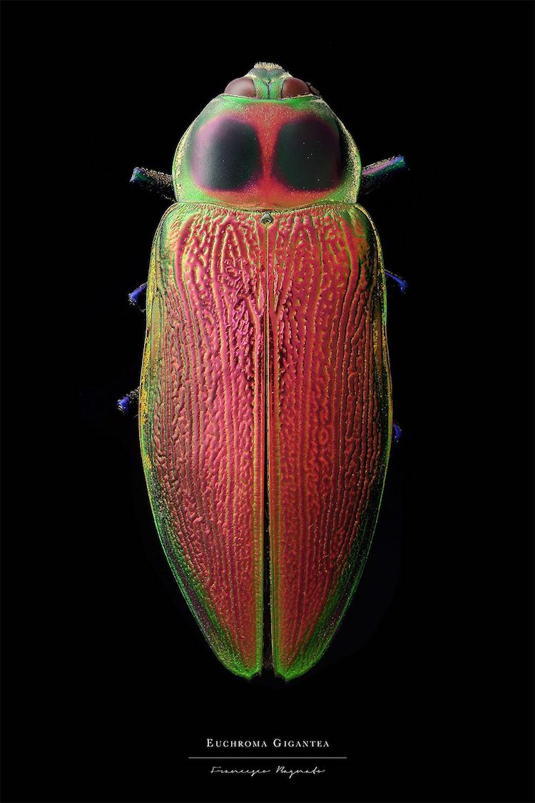 Colorful Insect Macro Photography by Francesco Bagnato