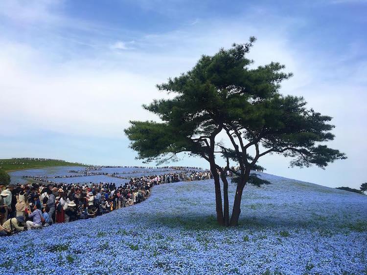 Nemophila Blooms Hitachi Seaside Park Blue Flowers