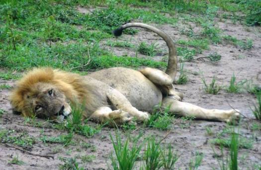 Clarence the Lion Three Legged Murchison Falls National Park