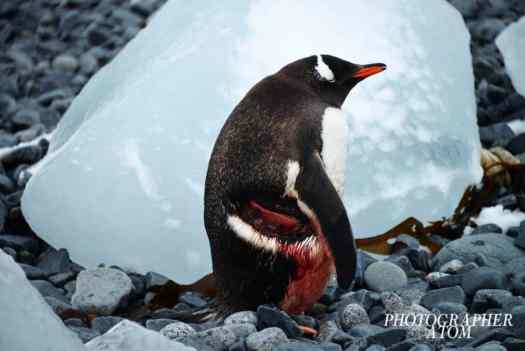 Gentoo Penguin in Antarctica by ATOM Photographer