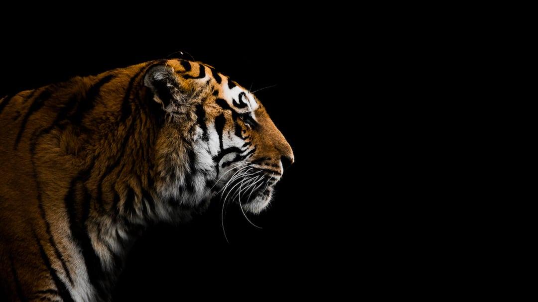 Jaguar Animal Wallpaper Animal Portraits By British Wildlife Photographer George