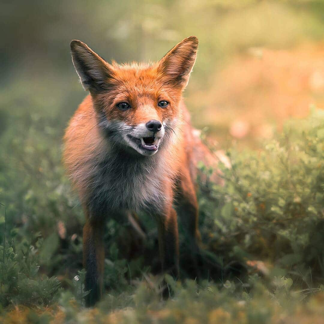 Fox Photos Capture The Diverse Personalities Of The Wild