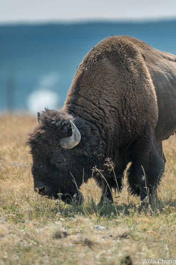 Photographer Charged by Bison in Yellowstone and Lives to