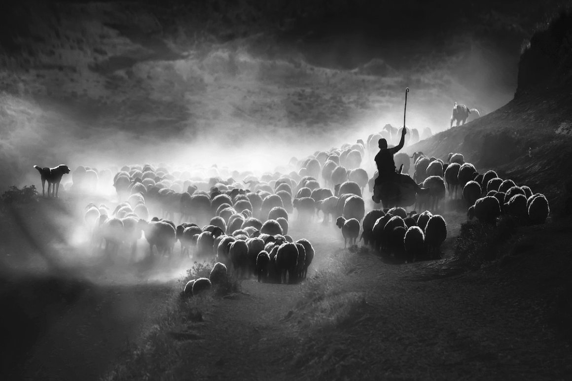 Sheep Herding in Turkey