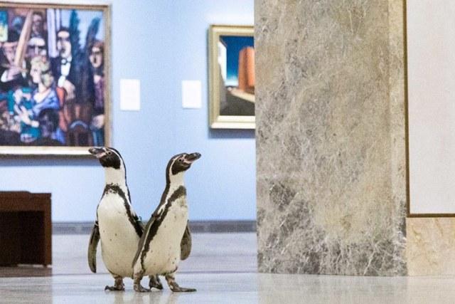 Kansas City Zoo's Humbolt Penguins Visit Nelson-Atkins Art Museum