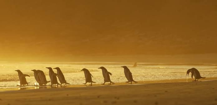 Gentoo penguins in the Falkland Islands