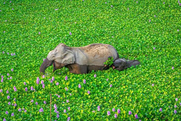 Elephant and her calf eating hyacinth