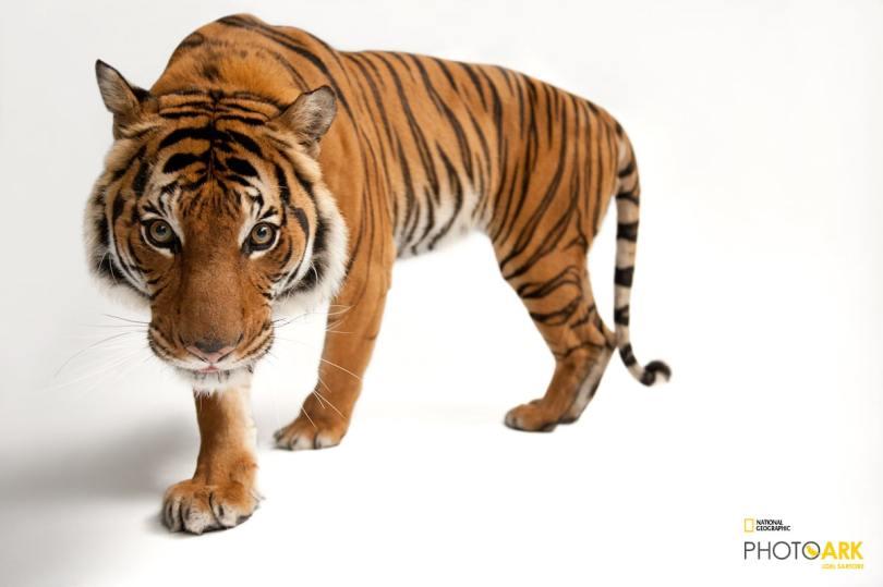 Endangered Malayan Tiger by Joel Sartore
