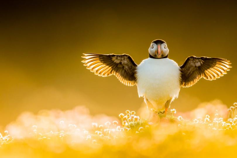 Bird Backlit with Wings Outstretched
