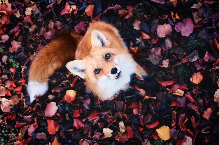 Fall Leaves Fox Wallpaper Adorable Pet Fox Named Juniper Will Steal Your Heart