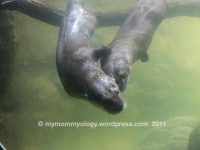 My Mommyology NC Zoo Sea Otters