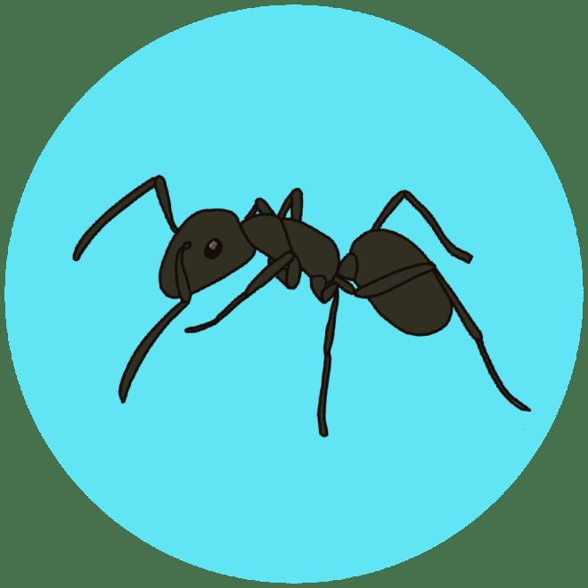 identifying ants - black ants