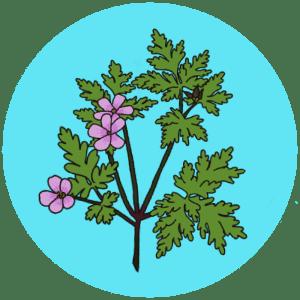 herb robert flowers